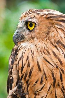 Free Eagle Owl Royalty Free Stock Photos - 19612958