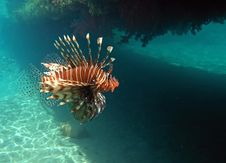 Free Red Lion Fish Royalty Free Stock Image - 19614296