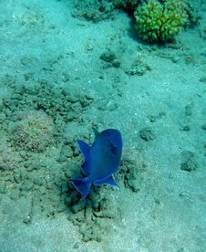 Free Blue Marbled Trigger Fish Stock Photography - 19614472