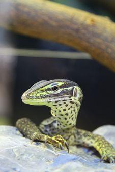 Lizard On Rock Royalty Free Stock Photo