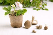 Free Sprout Of Strawberry And Mushrooms Stock Image - 19614921