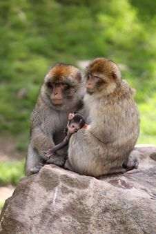 Free Barbary Macaque Stock Photography - 19616112