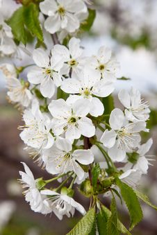 Free Blossoming Branch Of A Sweet Cherry Royalty Free Stock Photo - 19616795