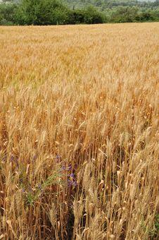 Free Wheat Field Stock Image - 19616841