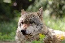 Free Eurasian Wolf Royalty Free Stock Photos - 19617328