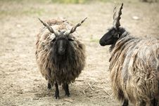 Free Twisted Horn Goats Royalty Free Stock Photos - 19617978
