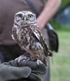 Free Little Burrowing Owl,Athene Cunicularia. Stock Photos - 19618263