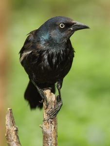 Free Common Grackle Stock Photos - 19619943