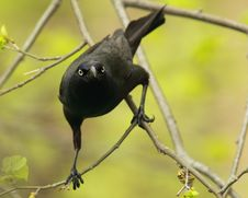 Free Common Grackle Looking At Camera Stock Images - 19619944