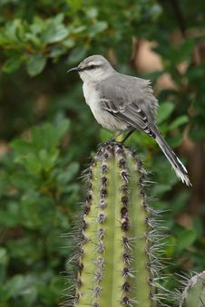 Free Tropical Mockingbird - Bonaire Stock Photography - 19619972