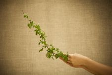 Free Raspberry Branch Royalty Free Stock Images - 19619979