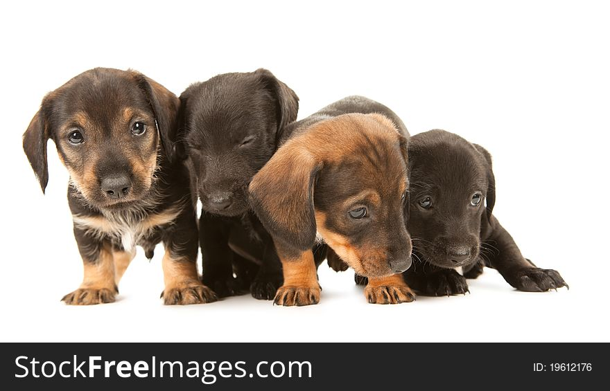 Dachshund Puppies Embracin Free Stock Images Photos 19612176