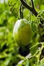 Free Green Tomato Stock Photo - 19623960