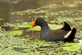 Free Elgant Moorhen Stock Photo - 19624850