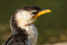 Free Little Pied Cormorant Royalty Free Stock Photography - 19620107