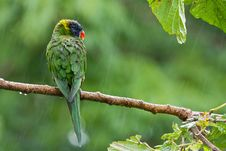 Free Rainbow Lorikeets In The Rain. Stock Image - 19620141