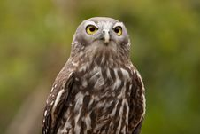 Free Barking Owl Stock Photography - 19620202