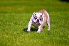 Free Running Bulldog Royalty Free Stock Photo - 19620295