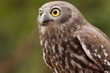 Free Barking Owl Stock Image - 19620681