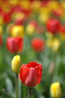 Free Tulips Stock Photos - 19621103