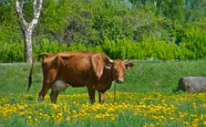 Free Cow On Meadow Stock Photos - 19621263