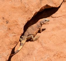 Free Western Chuckwalla Royalty Free Stock Images - 19621379