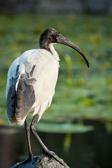 Free Juvenile White Ibis Stock Photo - 19621380