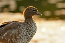 Free Australian Wood Duck Stock Photography - 19621512