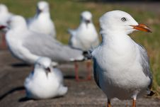 Free Silver Gull Portaint Stock Photos - 19621603