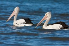 Free Australian Pelican Royalty Free Stock Photos - 19621728