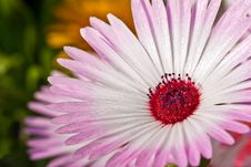Free Close-up Of A Beautiful Pink Daisy Flower Stock Photo - 19621870
