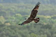 Free Osprey Dive. Royalty Free Stock Image - 19622136