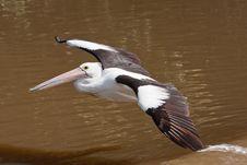 Free Australian Pelican Stock Photo - 19623580