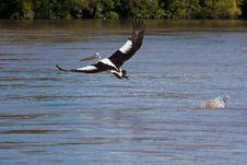 Free Australian Pelican Royalty Free Stock Photo - 19623605
