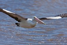 Free Australian Pelican Royalty Free Stock Photo - 19623625