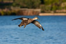 Free Pacific Black Duck Stock Image - 19623941