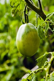 Green Tomato Stock Photo