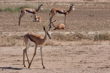 Free Springbok In Kalahari Royalty Free Stock Photos - 19624218