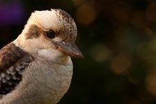 Free Laughing Kookaburra Portrait Royalty Free Stock Images - 19624219
