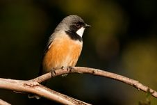 Free Rufous Whistler Royalty Free Stock Image - 19624266