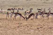Free Springbok In Kalahari Royalty Free Stock Photography - 19624317