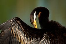 Free Australian Darter Wing Stock Photo - 19624440