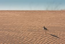 Free Exploring Plover Royalty Free Stock Photography - 19624607