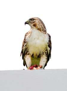 Red Tail Hawk Sitting On A Sign Stock Photography