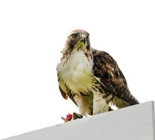 Free Red Tail Hawk Sitting On A Sign Stock Photos - 19624643