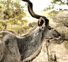 Free Male Kudu Royalty Free Stock Images - 19625999