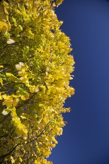Free Bright Yellow Poplar Leaves Against Blue Sky Stock Image - 19626191