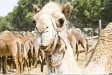 Free Camel Royalty Free Stock Photography - 19626407