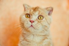 Free Scottish Fold Cat With Wet Head Royalty Free Stock Image - 19626476