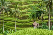 Free Hut In Terrace Rice Field Royalty Free Stock Photography - 19627267